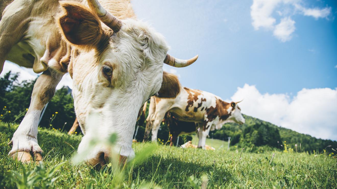 -Kuh Rind Weide Alm Gras Bio
